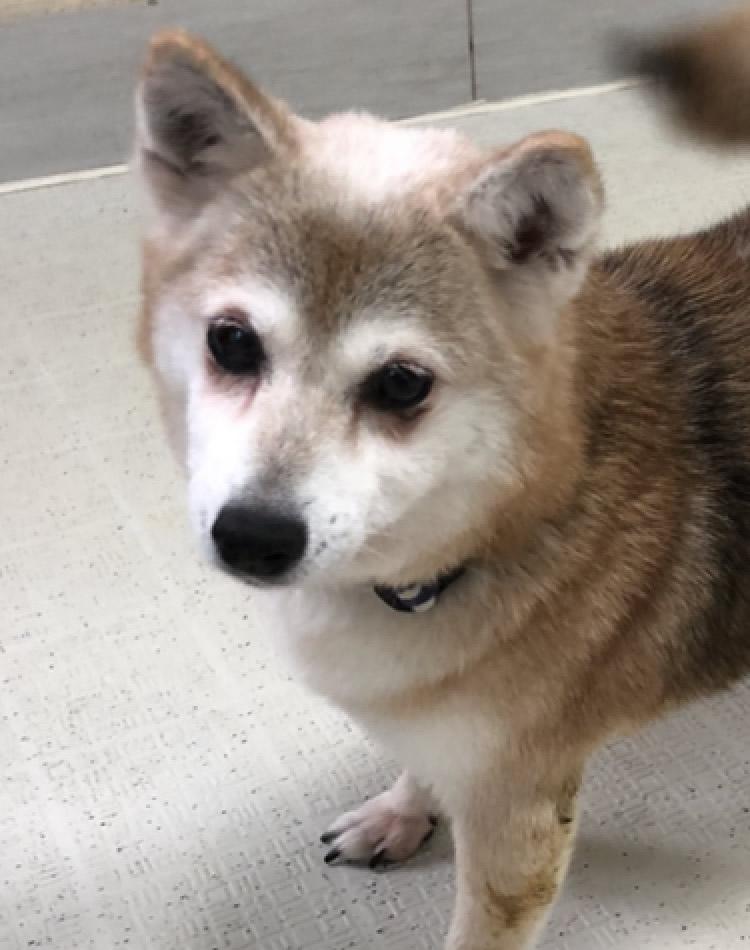 ★★柴犬3  メス★★